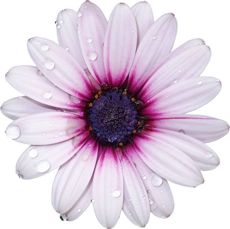 Purple Flower Clipart No Background: FreeToEdit Png Flower With A Transparent Background