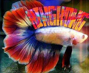 #betafish