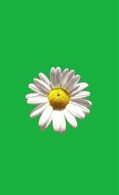 freetoedit daisy flower green