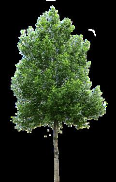 ftestickers treestickers tree freetoedit