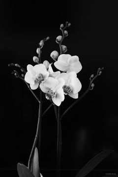 nature flower blackandwhite orchid